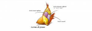 Germe di grano Molino Vigevano
